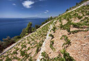 Hrvatski ljubitelji vina najavljuju prvi međunarodni dan plavca malog